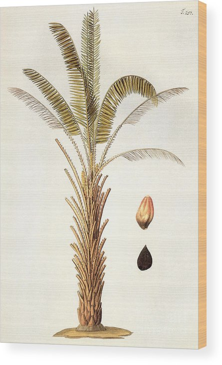 1780 Wood Print featuring the photograph African Oil Palm by Granger