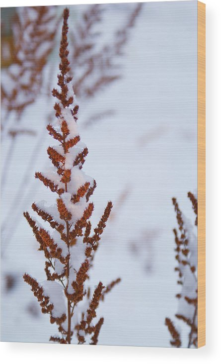Astilbe Wood Print featuring the photograph Astilbe Aglow In The Snow by Douglas Barnett