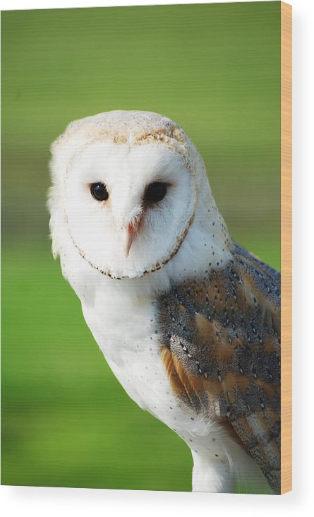 Barn Owl Wood Print featuring the photograph Barn Owl by Peter Jenkins