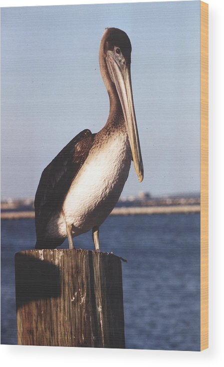 Bird Wood Print featuring the photograph Brown Pelican by Wendell Baggett