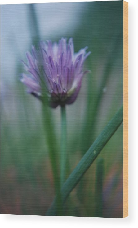 Nature Wood Print featuring the photograph Chive Flower 2 by Lisa Gabrius