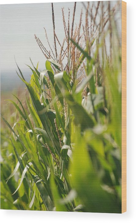 Corn Wood Print featuring the photograph Corn Country by Margaret Fortunato