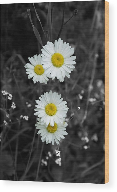 Daisy Wood Print featuring the photograph Daisies by Lisa Hebert
