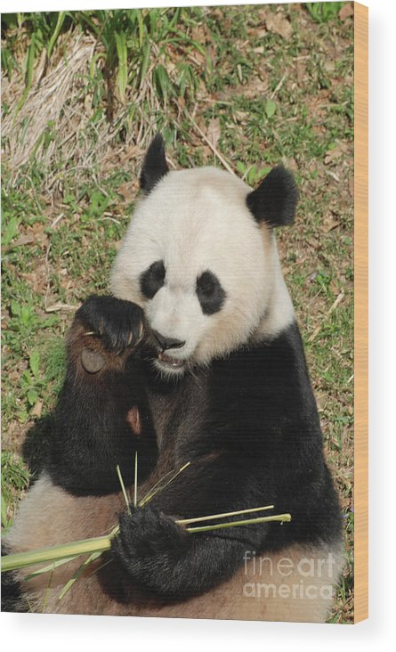 Panda Wood Print featuring the photograph Giant Panda Bear Holding On To Bamboo While Eating by DejaVu Designs