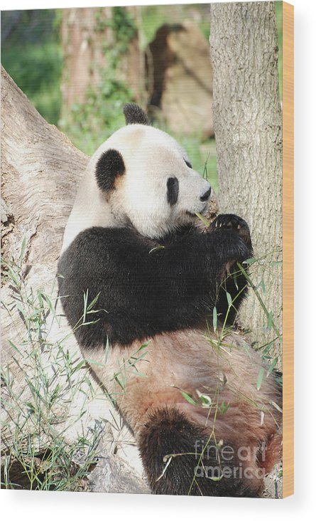 Panda Wood Print featuring the photograph Giant Panda Bear Leaning Against A Tree Trunk Eating Bamboo by DejaVu Designs