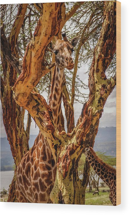 Kenya Wood Print featuring the photograph Giraffe Camouflage by Sarah M Taylor