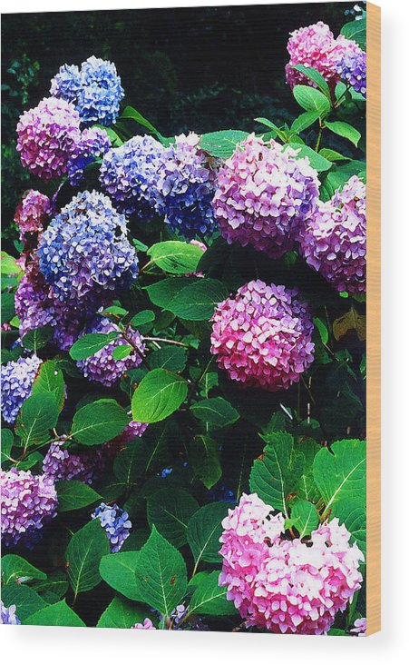 Flowers Wood Print featuring the photograph Hydrangeas by Nancy Mueller