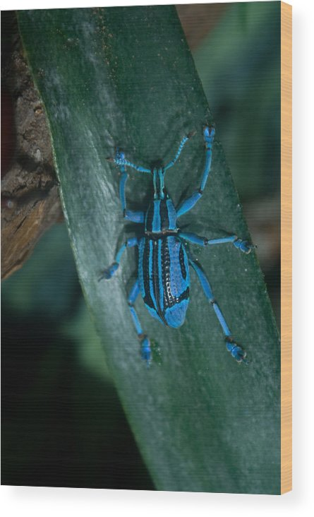 Weevil Wood Print featuring the photograph Indigo Blue Weevil by Douglas Barnett