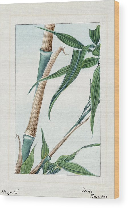 1870s Wood Print featuring the photograph Japan: Bamboo, C1870s by Granger