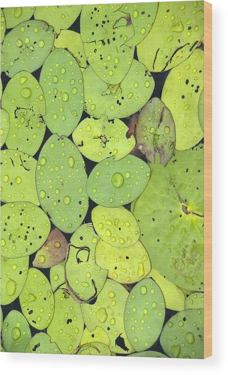 Lily Pads Wood Print featuring the photograph Lily Pads by Jessica Wakefield