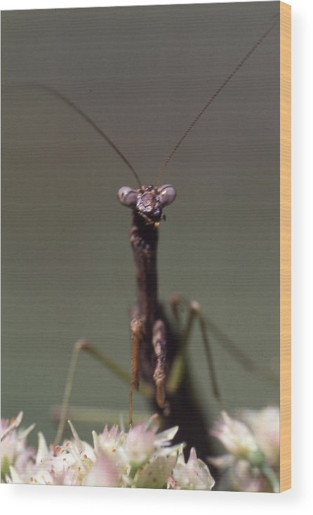 Wood Print featuring the photograph Mantis Hello by Curtis J Neeley Jr