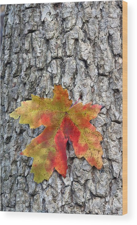Fall Wood Print featuring the photograph Maple Leaf On A Maple Tree by Andreas Freund