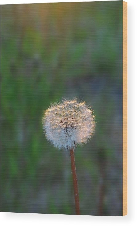 Dandelion Wood Print featuring the photograph Morning Light by Marilynne Bull