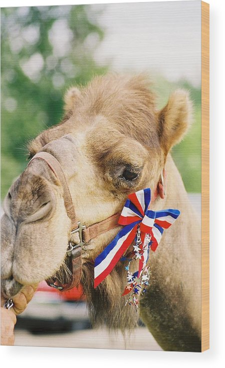 Camel Wood Print featuring the photograph Mr. Camel by Cheryl Martin