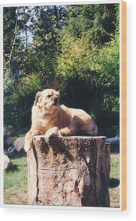Border Terrier Wood Print featuring the photograph Nui Sunbathing by Laura Johnson