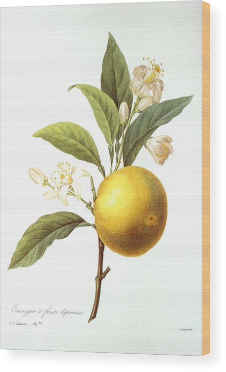 Biology Wood Print featuring the photograph Orange Tree by Granger