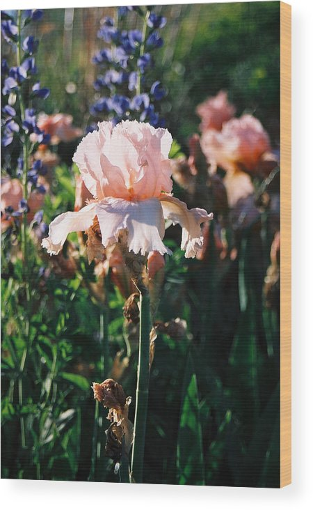 Flower Wood Print featuring the photograph Peach Iris by Steve Karol