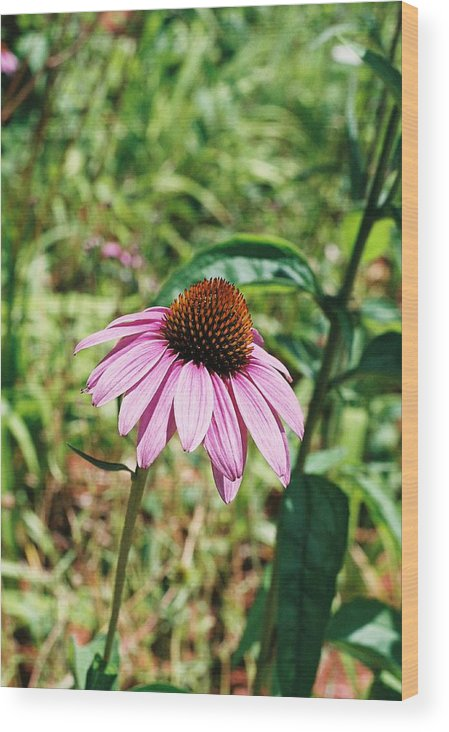 Flower Wood Print featuring the photograph Purple Coneflower by Cheryl Martin