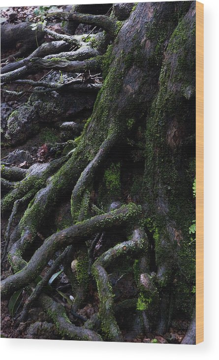 Root Wood Print featuring the photograph The Root by Pramod Bansode