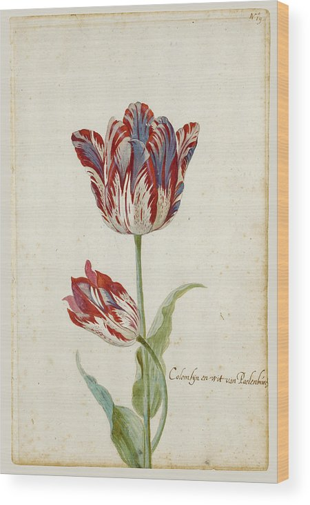 Jacob Marrel Wood Print featuring the drawing Two Red And White Tulips. Colombijn And Wit Van Poelenburg by Jacob Marrel