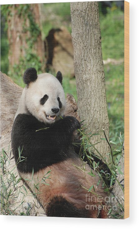 Panda Wood Print featuring the photograph Wild Panda Bear Eating Bamboo Shoots While Leaning Against A Tre by DejaVu Designs