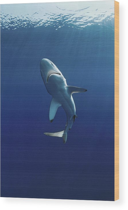 Animal Themes Wood Print featuring the photograph Oceanic Blacktip Shark by Jeff Rotman