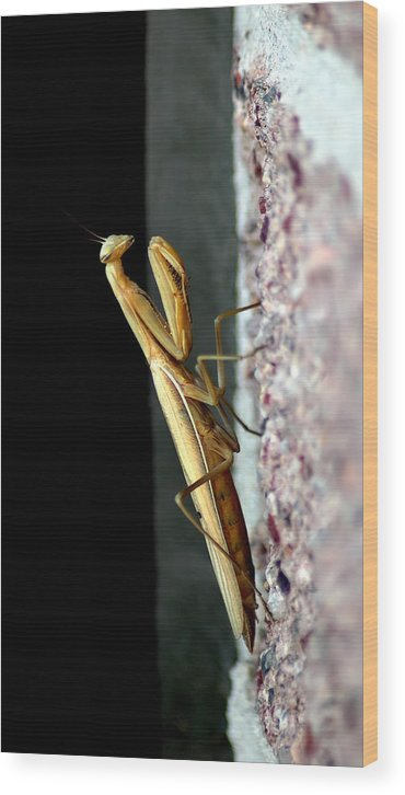 Preying Mantis Wood Print featuring the photograph Preying Mantis by Nathan Gihoul