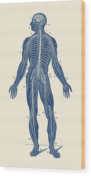 Human Body Wood Print featuring the drawing Human Lymphatic System - Vintage Anatomy by Vintage Anatomy Prints