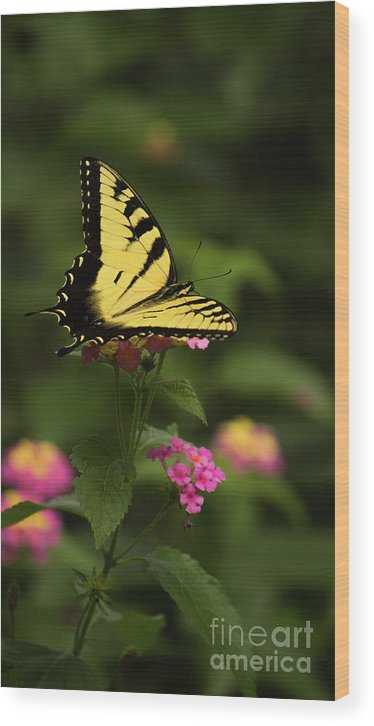 Butterfly Wood Print featuring the photograph Tiger Swallowtail by Sandra Clark