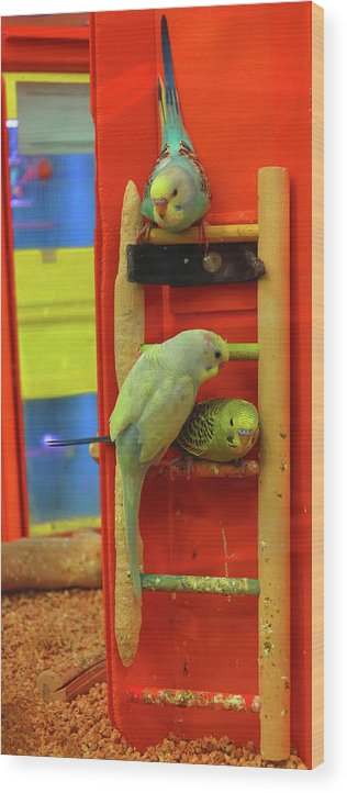 Budgie Wood Print featuring the photograph Three Budgies by Stephenbw