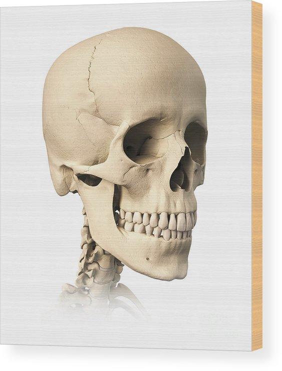 Anatomy Of Human Skull Side View Wood Print By Leonello Calvetti