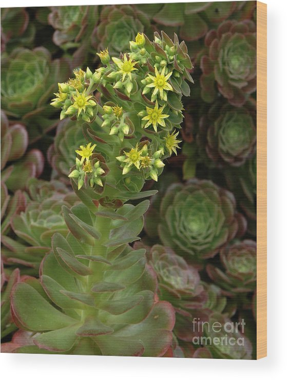 Blooming Wood Print featuring the photograph Blooming Succulents by Mike Nellums