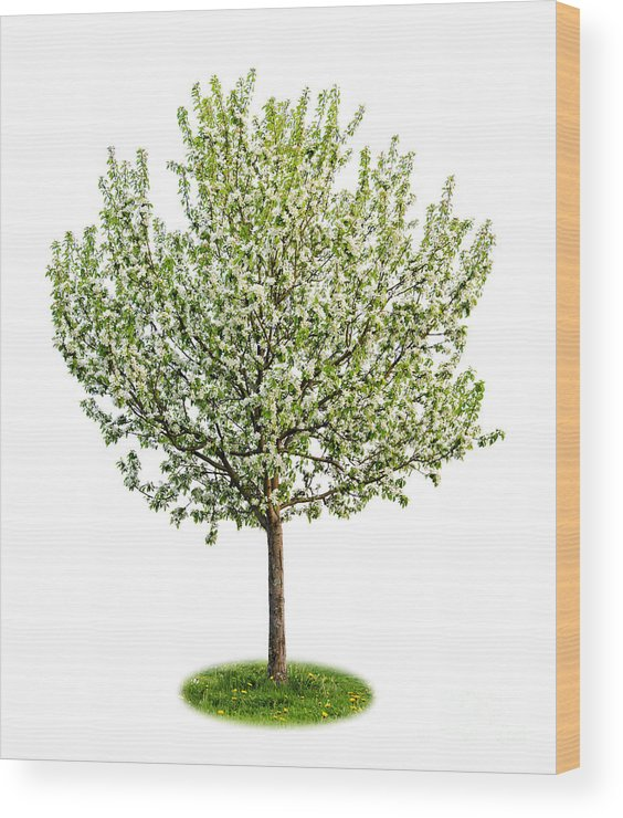 Tree Wood Print featuring the photograph Flowering Apple Tree by Elena Elisseeva