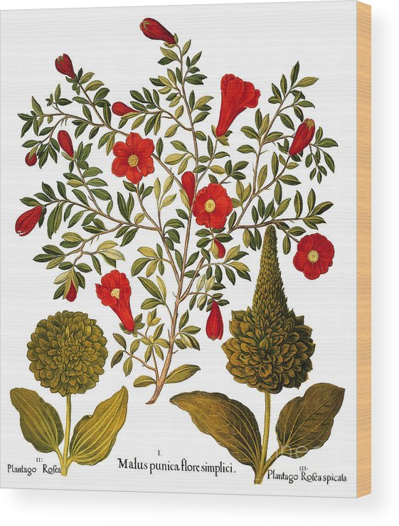1613 Wood Print featuring the photograph Pomegranate, 1613 by Granger