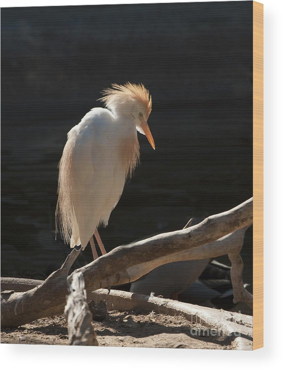 Bird Wood Print featuring the photograph Backlit Egret by Sandra Bronstein