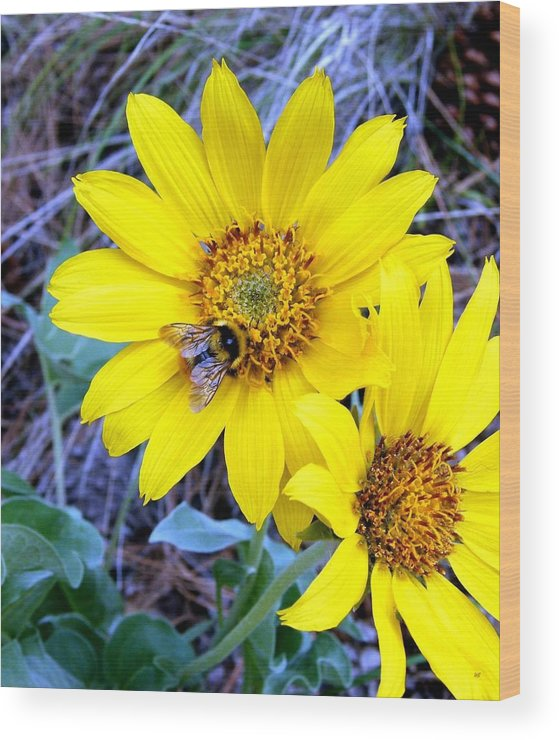 Bee On Wild Sunflowers Wood Print featuring the photograph Bee On Wild Sunflowers by Will Borden
