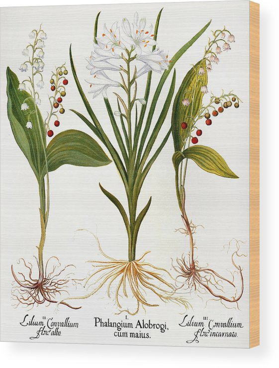 1613 Wood Print featuring the photograph Lily-of-the-valley by Granger
