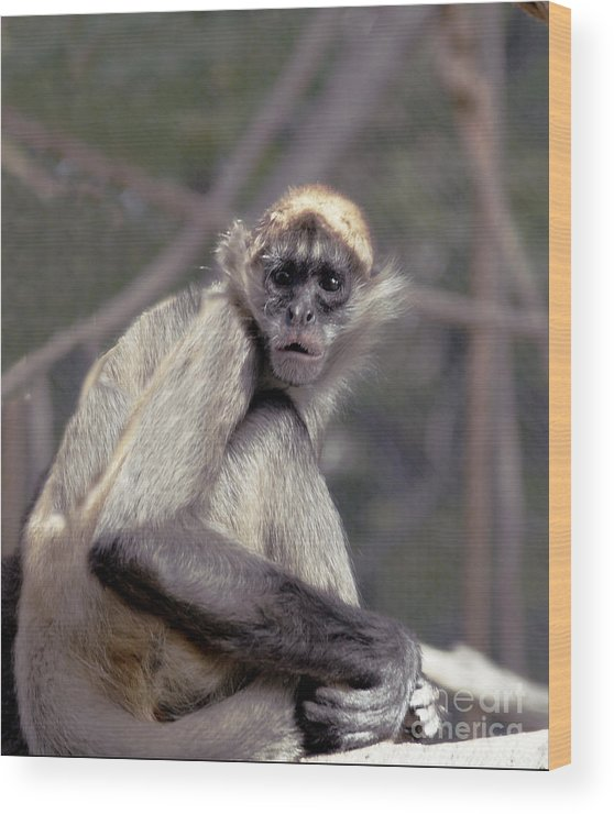 Monkey Wood Print featuring the photograph What Are You Looking At by Irma BACKELANT GALLERIES