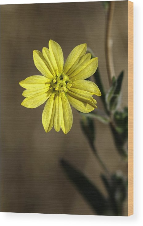 Flower Wood Print featuring the photograph Yellow Flower by Betty Depee