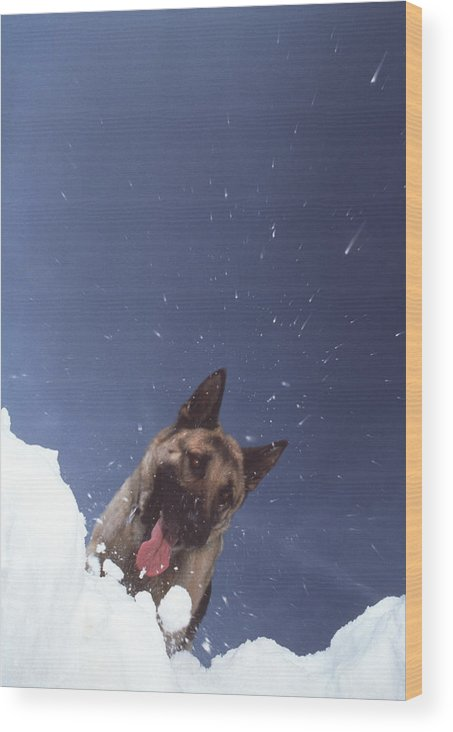 Avalanche Wood Print featuring the photograph Avalanche Rescue by Mauro Fermariello/science Photo Library