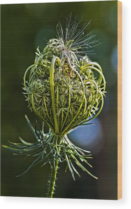 Weed Wood Print featuring the photograph Countdown by Steve Harrington