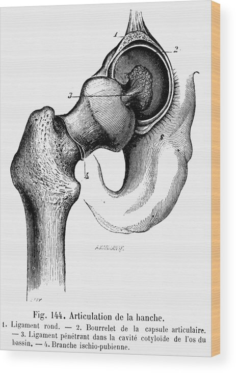 19th Century Wood Print featuring the photograph Human Hip Joint by Granger
