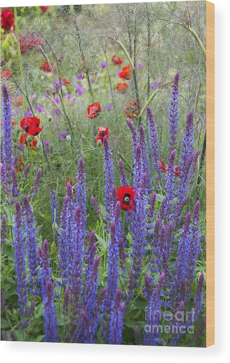 Sage Wood Print featuring the photograph Salvia Sp. And Papaver Sp by Carol Casselden