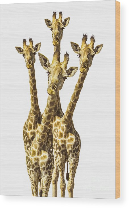Giraffe Wood Print featuring the photograph What Are You Looking At? by Diane Diederich
