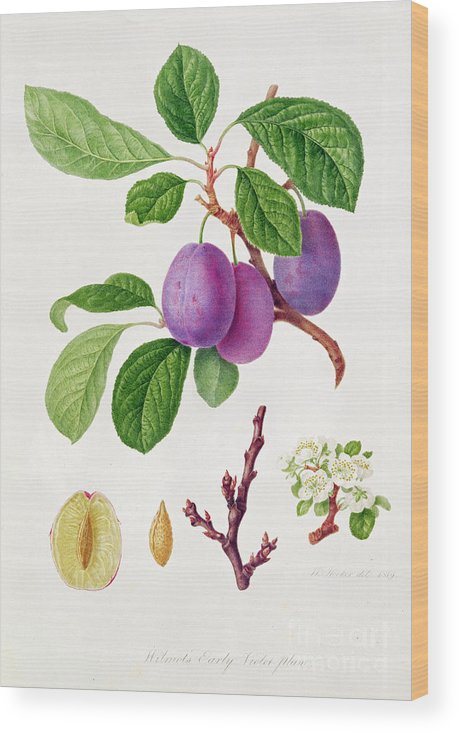Plums; Plum Blossom; Fruit; Branch; Cross-section; Leaves; Botanical Illustration Wood Print featuring the painting Wilmot's Early Violet Plum by William Hooker