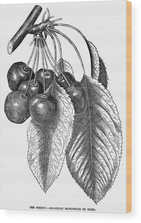 19th Century Wood Print featuring the photograph Botany: The Cherry by Granger