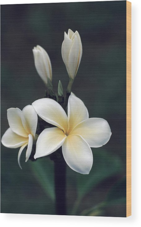 Four Flowers Wood Print featuring the photograph Close View Of A Delicated Plumeria by Ira Block