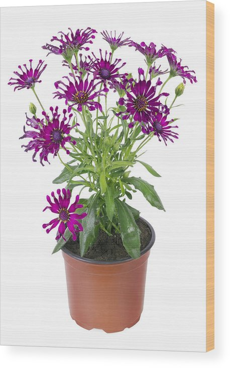 Isolated Wood Print featuring the photograph Favourite Violet Indoor Flower by Aleksandr Volkov