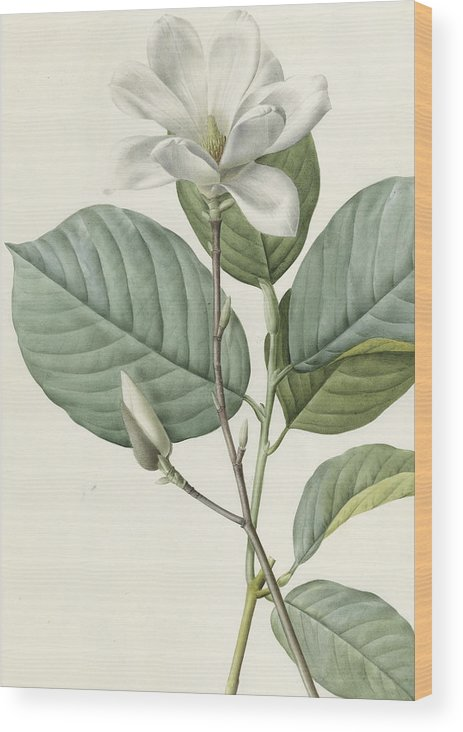 Magnolia Wood Print featuring the painting Magnolia by Pierre Joseph Redoute