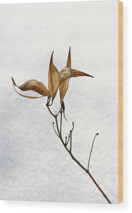 Flower Wood Print featuring the photograph After Setting Seed by Steve Augustin